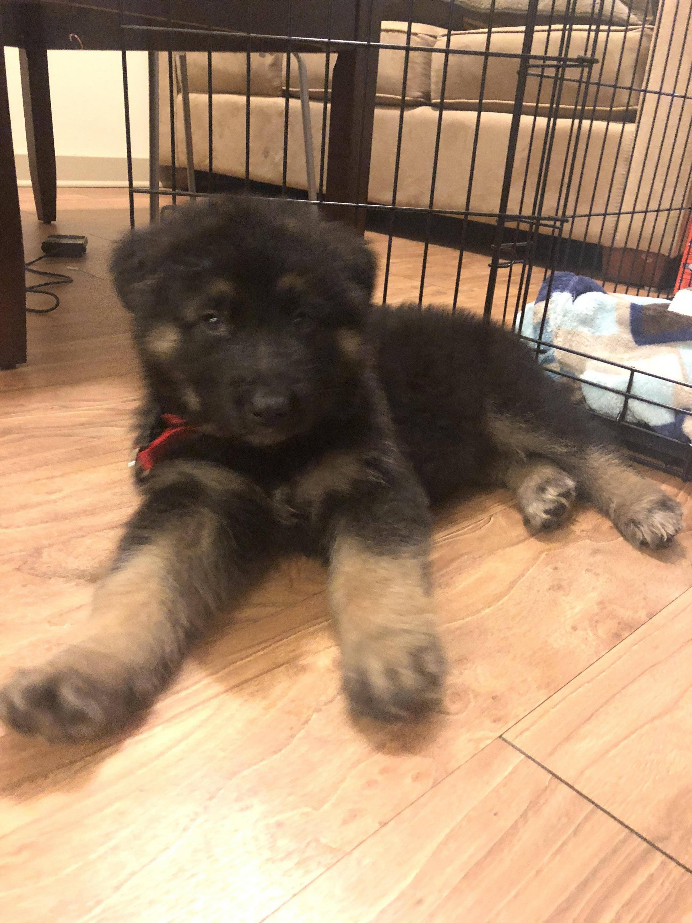 King Shepherd Puppies For Sale In Sri Lanka 2021