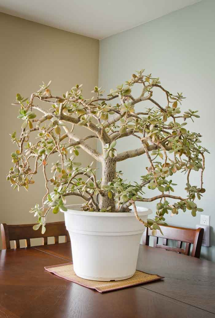 Artisangilt Com Fashion Made Easy Jade Plants Plants Miniature Trees