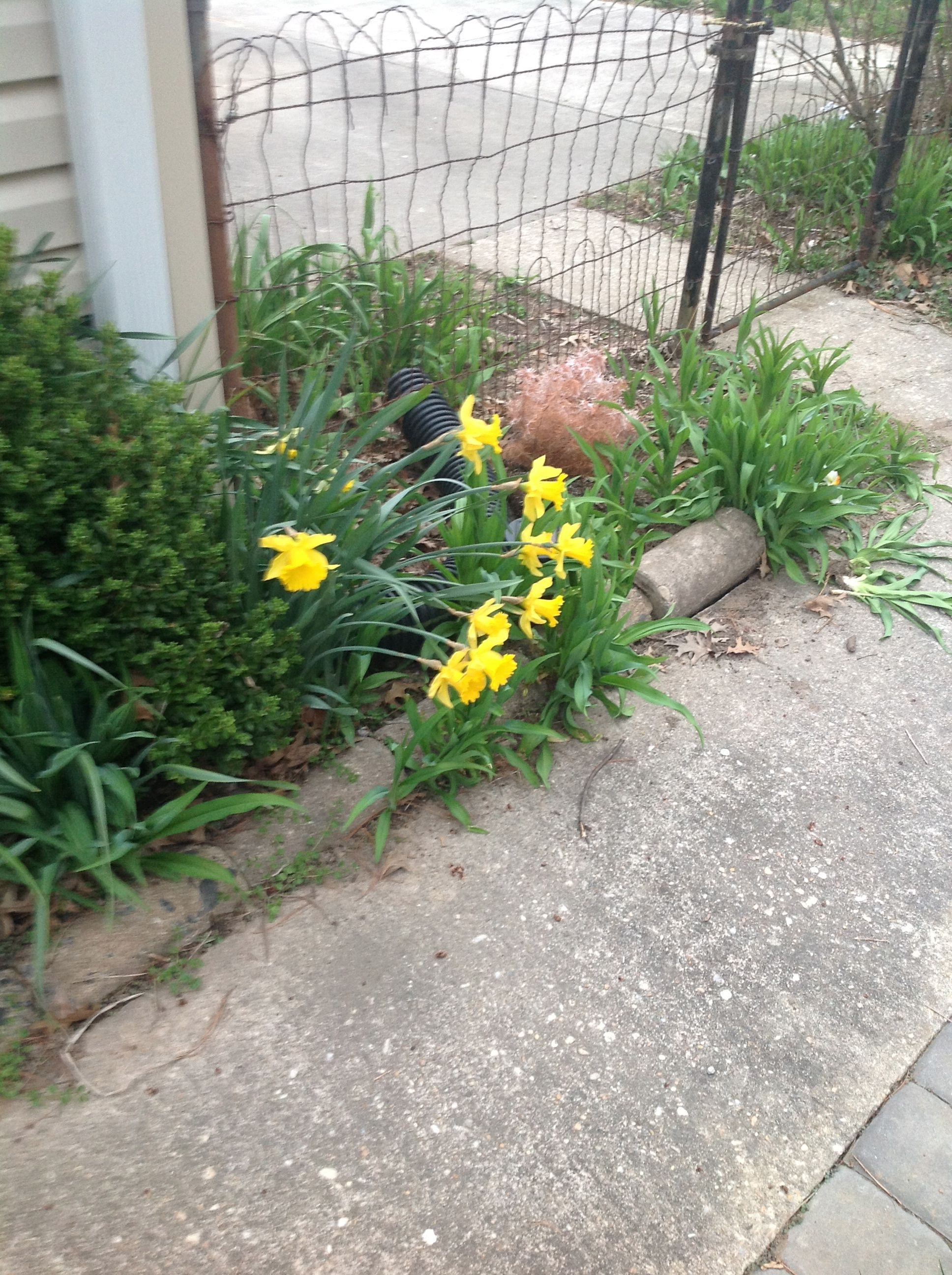 Daffodils at the in-laws this March , where I resided while these jewels were arriving
