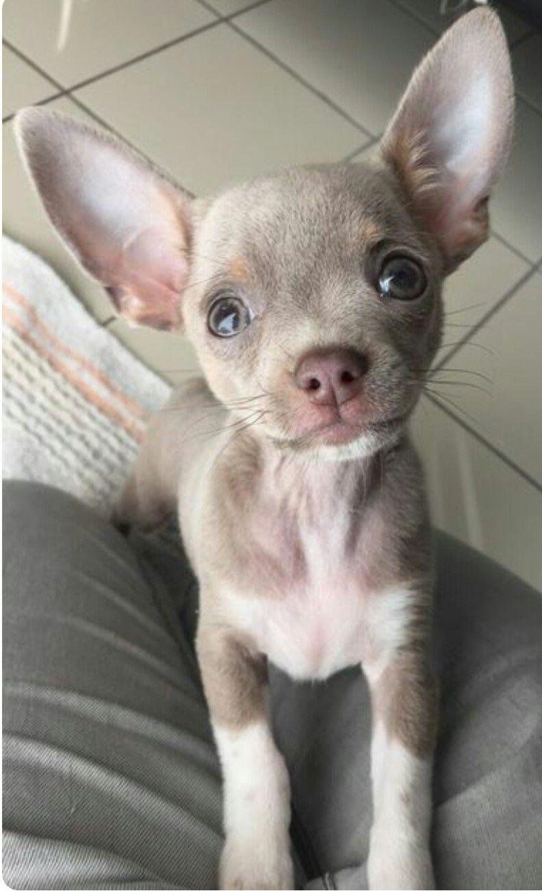 Visit Us At Barkingtreedogsupply Com Chihuahua Breeds Chihuahua Dogs Chihuahua Puppies