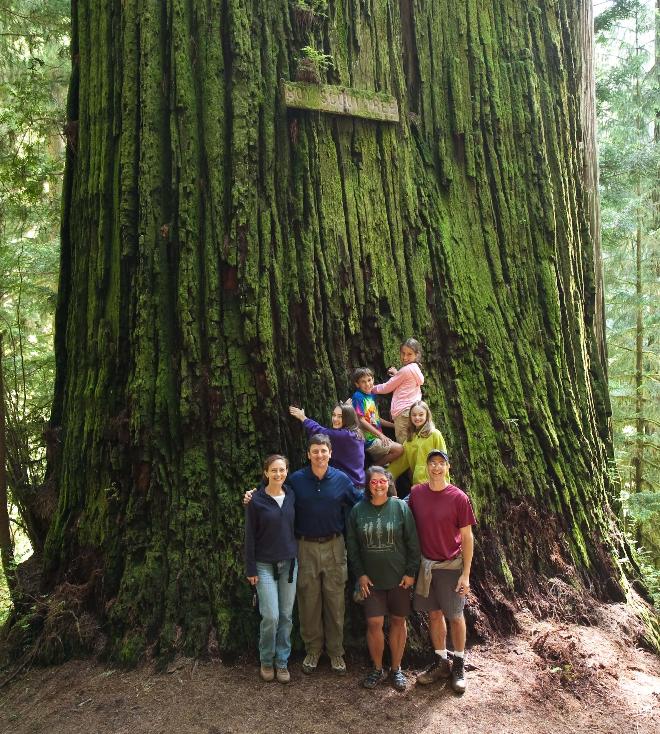 Coast redwood sequoia sempervirens boy scout tree jedediah smith state park