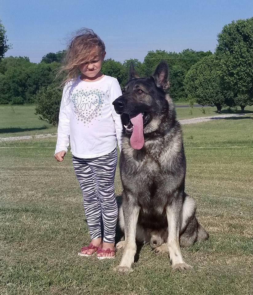 X Large German Shepherd Puppies For Sale Ayers Legends German