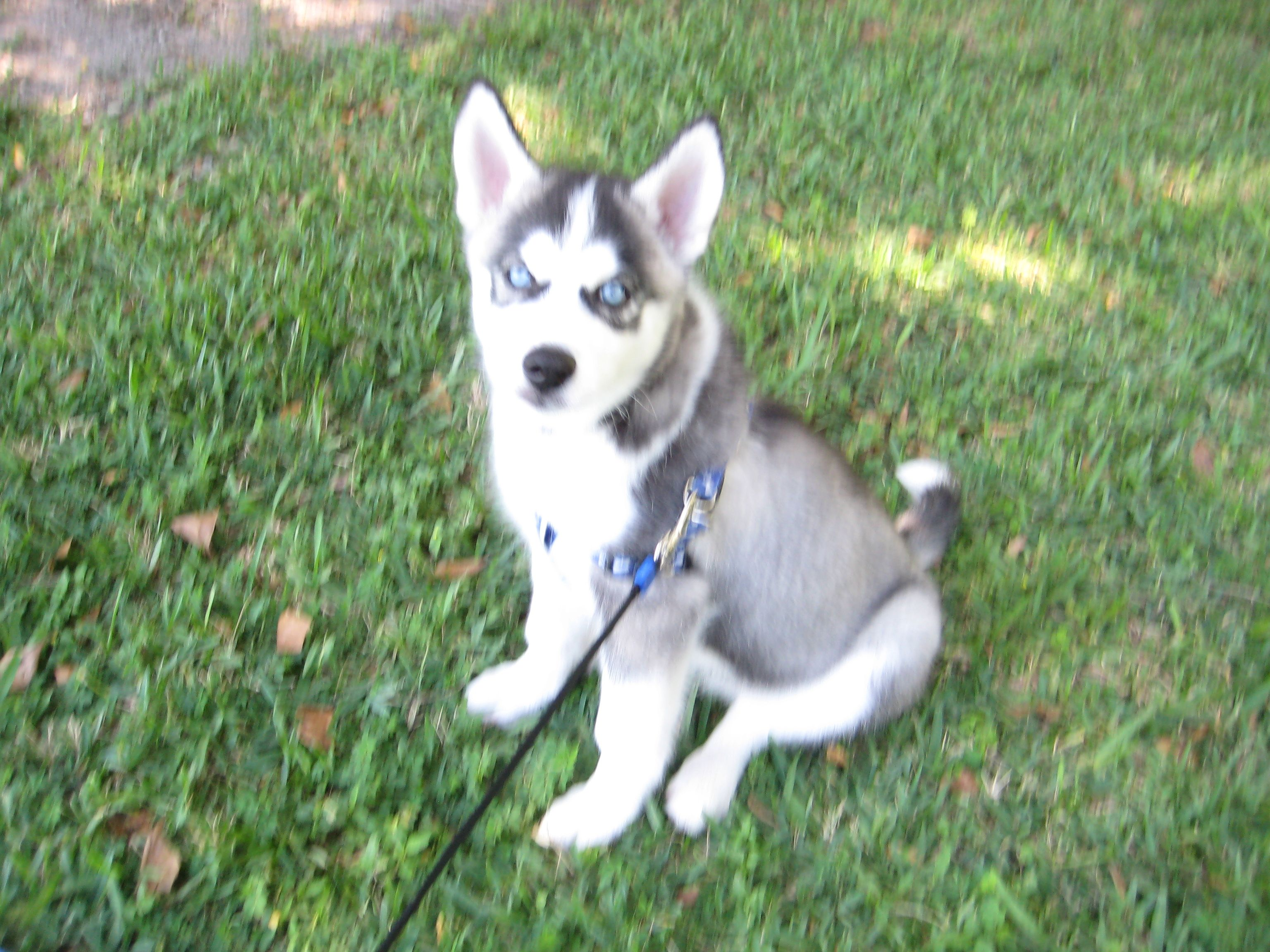 What Big Ears You Have Siberian Husky Fur Babies