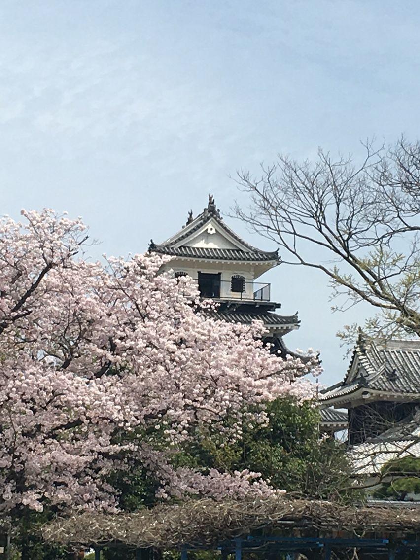 桜満開の中津城