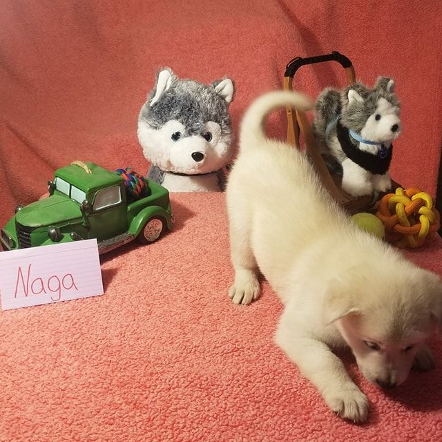 Naga Mixed Husky Golden Retriever Chow Pups For Sale In