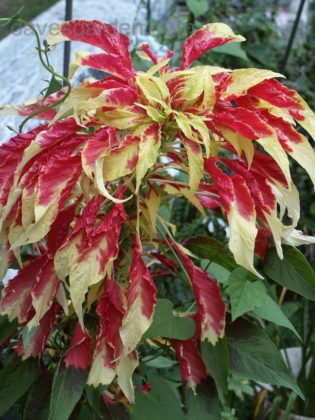 Amaranto Tricolor ( Joseph's Coat ) plants & flowers