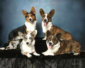 Cardigan Welsh Corgis Can Be Extremely Loyal Family Dogs They Are