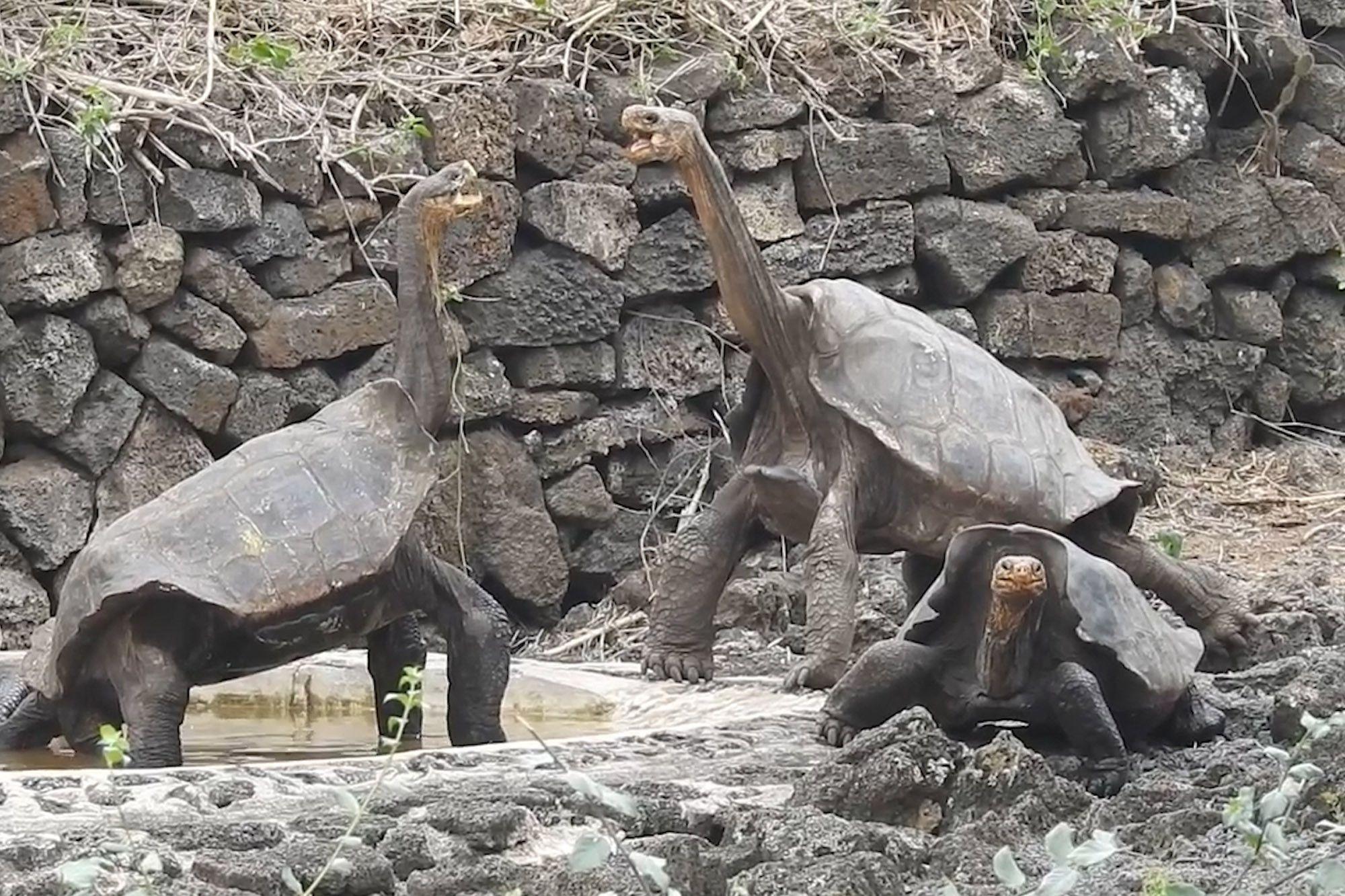 Gallapagos Tortoise