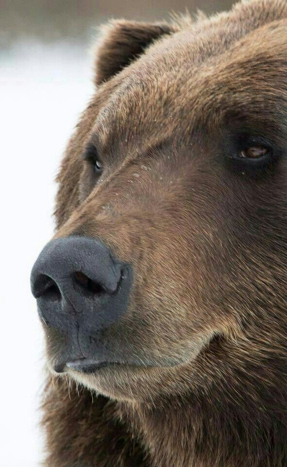 Gorgeous Grizzly Bear Close Up Animaux Beaux Animaux Sauvages Ours Brun