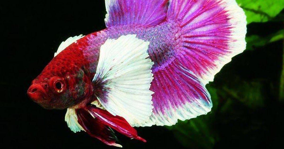 30 Gambar Kartun Ikan Cupang Cantik Ikan Hias Air Tawar Tercantik Selanjutnya Adalah Ikan Guppy Temukan Berbagai Gambar La Ikan Cupang Gambar Kartun Piaraan Betta fish wallpaper gif betta gif id