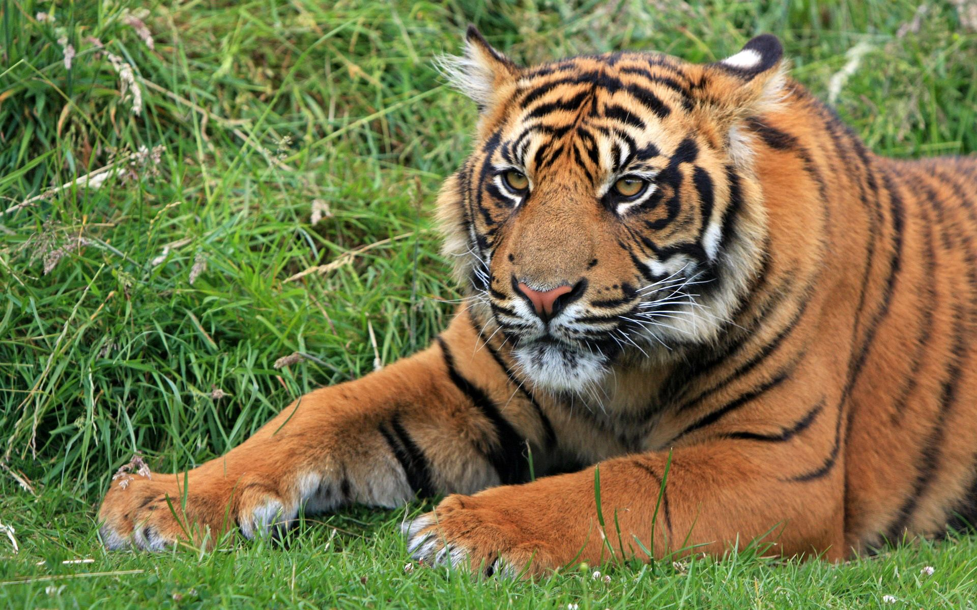 rocking tiger wallpapers cool tiger images free download page 1920