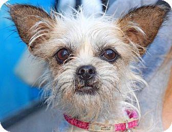New York Ny Pupstarz Rescue Border Terrier Brussels Griffon