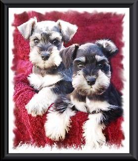 Stunning Mini Schnauzer Puppies Dogs Puppies Gumtree