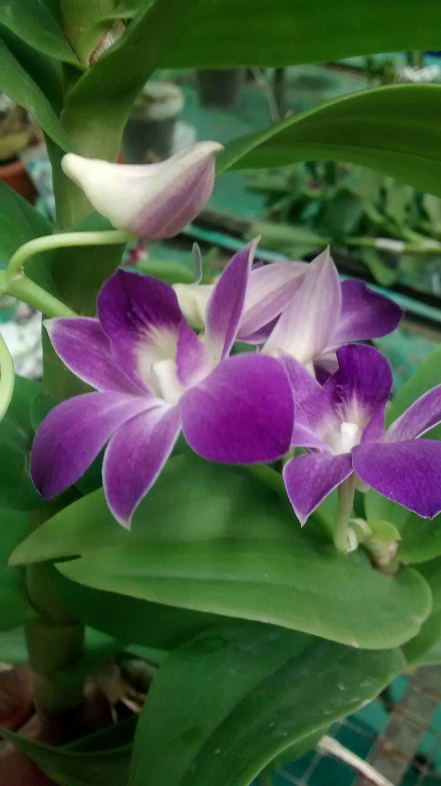 Dboota blue dendrobium orchids klairvoyant orchids
