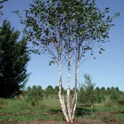 Betula Nigra City Slicker R River Birch