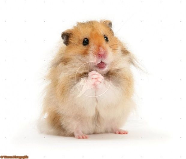 Looks Just Like My Baby Noodles Bear Hamster Baby Hamster