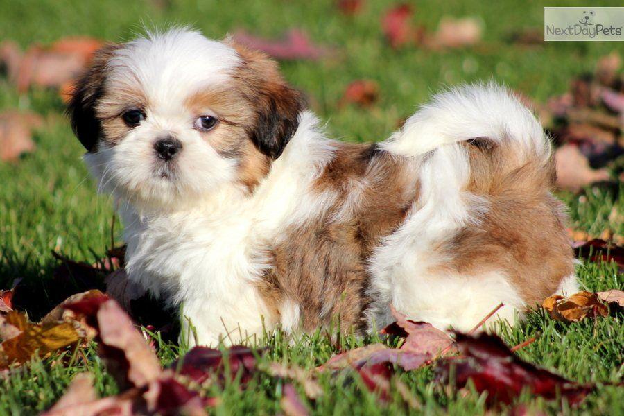 Shih Tzu Puppy For Sale Near Lancaster Pennsylvania Bcd44bbe 5301