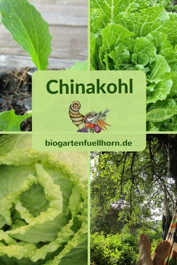 chinakohl pflanzen tipps garten pflege, erfolgreich chinakohl anbauen | garten | pinterest | garten, garten, Design ideen