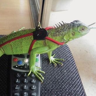 Iguana Harness With Lead | Items For Your Pet | Pinterest | Reptiles