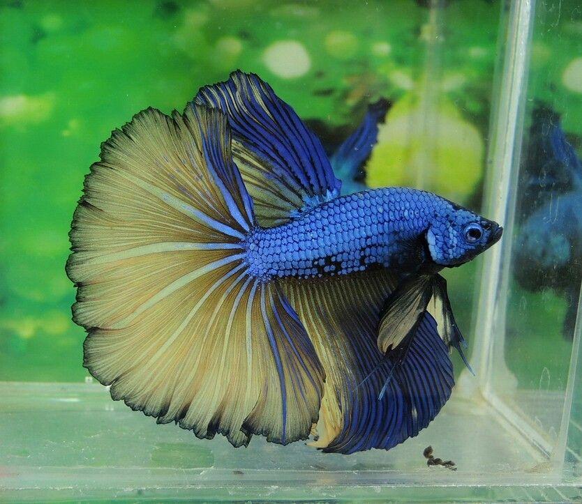 808 Blue Mustard Dragon Ohm Male Betta Fish Breeding Betta Fish