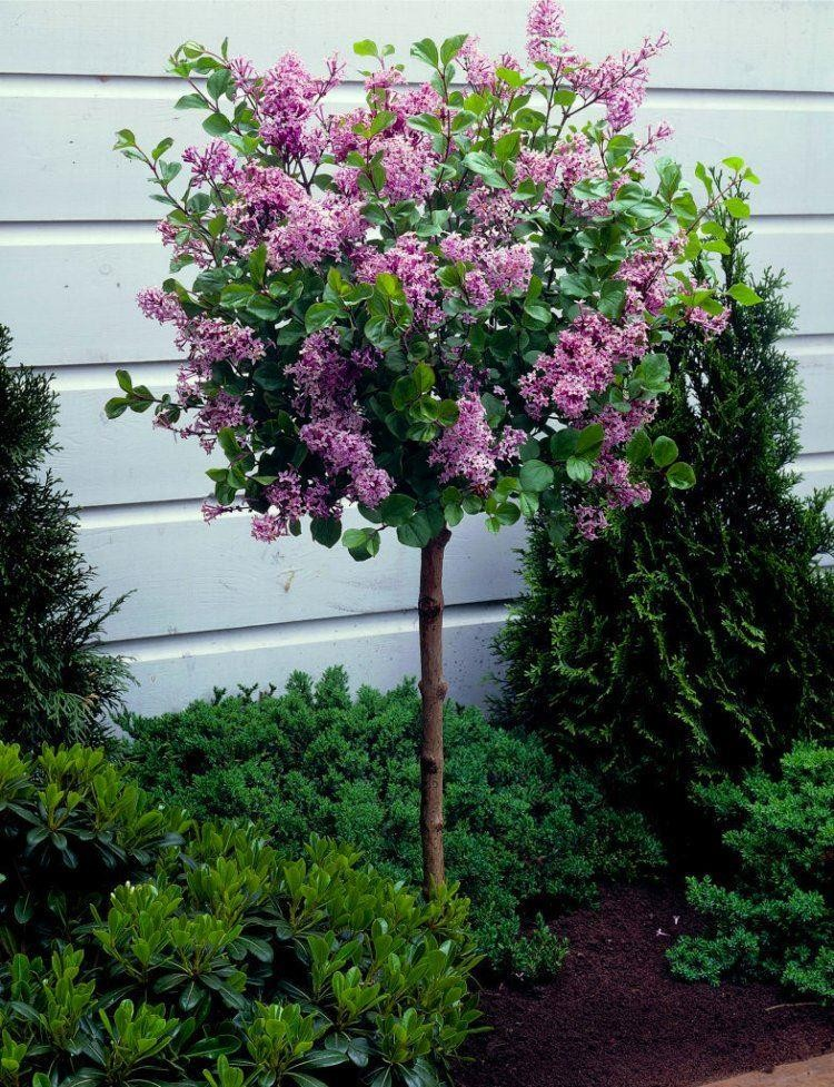 Blooming In May June And For A Second Time In August September This Superb Standard Lilac Tree Is The In 2020 Lilac Tree Dwarf Trees For Landscaping Dwarf Lilac Tree