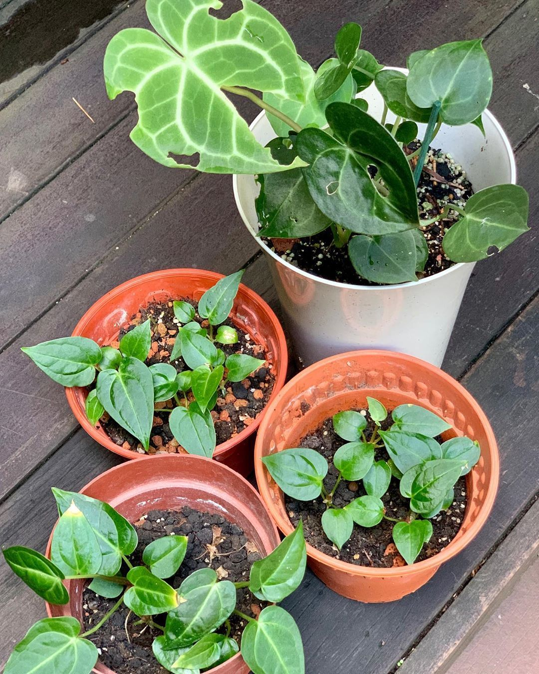 Anthurium Clarinervium Top White Pot And A Magnificum Seedlings Propagated From Seeds They Are About Four Weeks To Gardening Blog Tropical Garden Anthurium