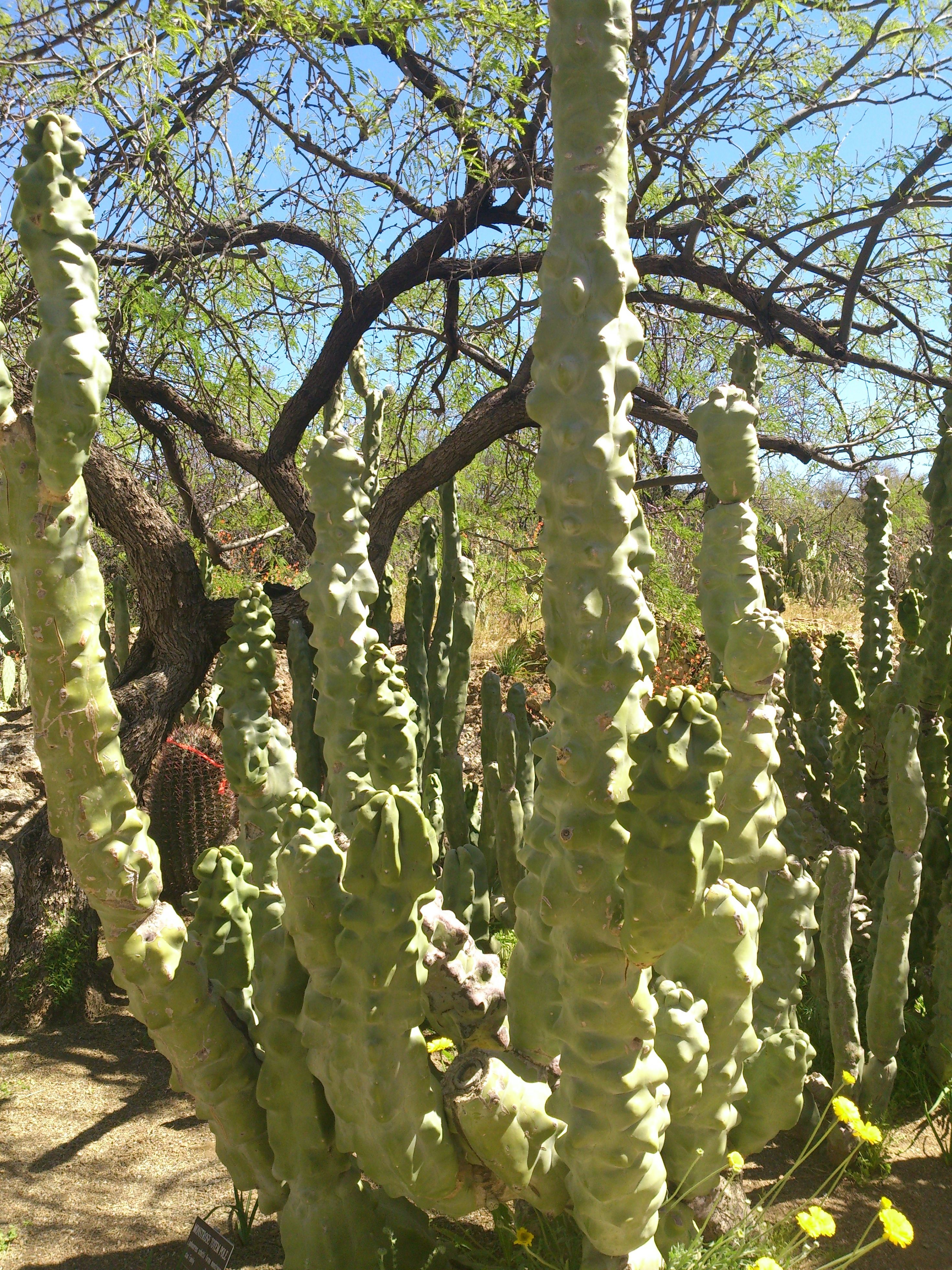 Totem pole cactus looks like its melting