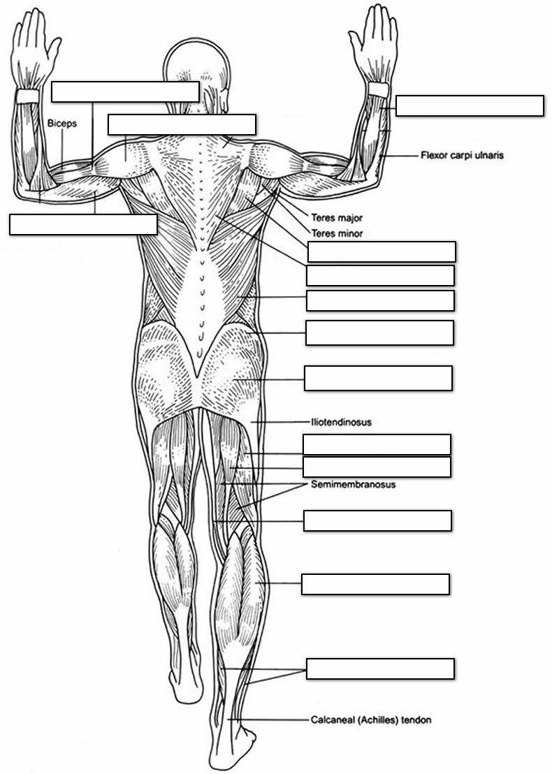 Unlabeled posterior muscle diagram Human anatomy
