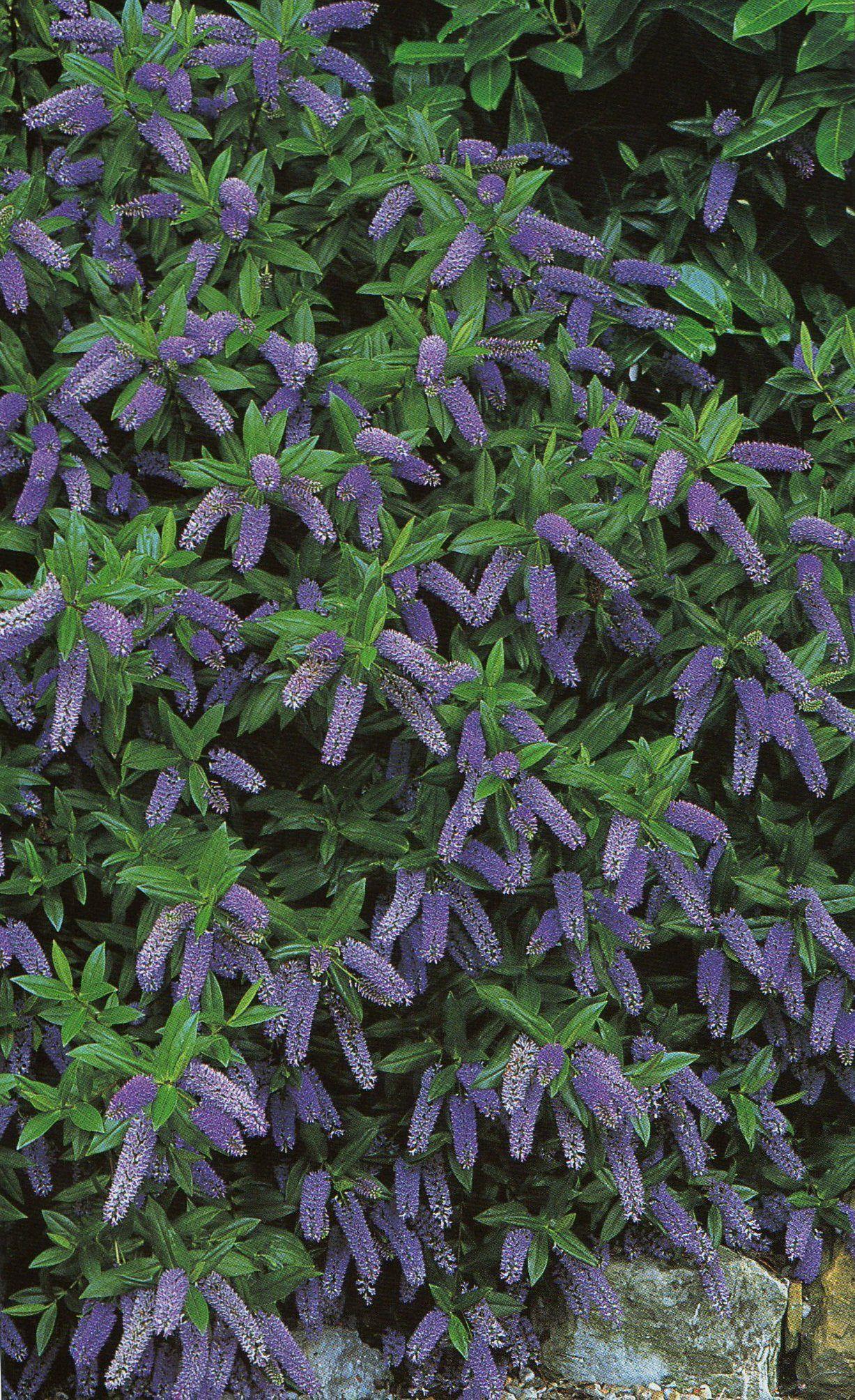 Evergreen Shrubs plus points for hebe evergreen shrubs