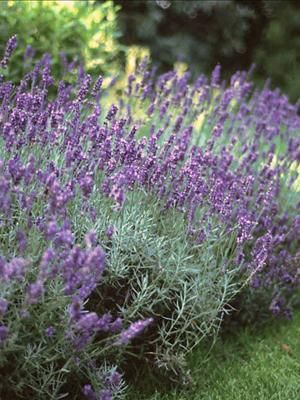 Perennials For Wet And Shady Areas Jardin Lavender