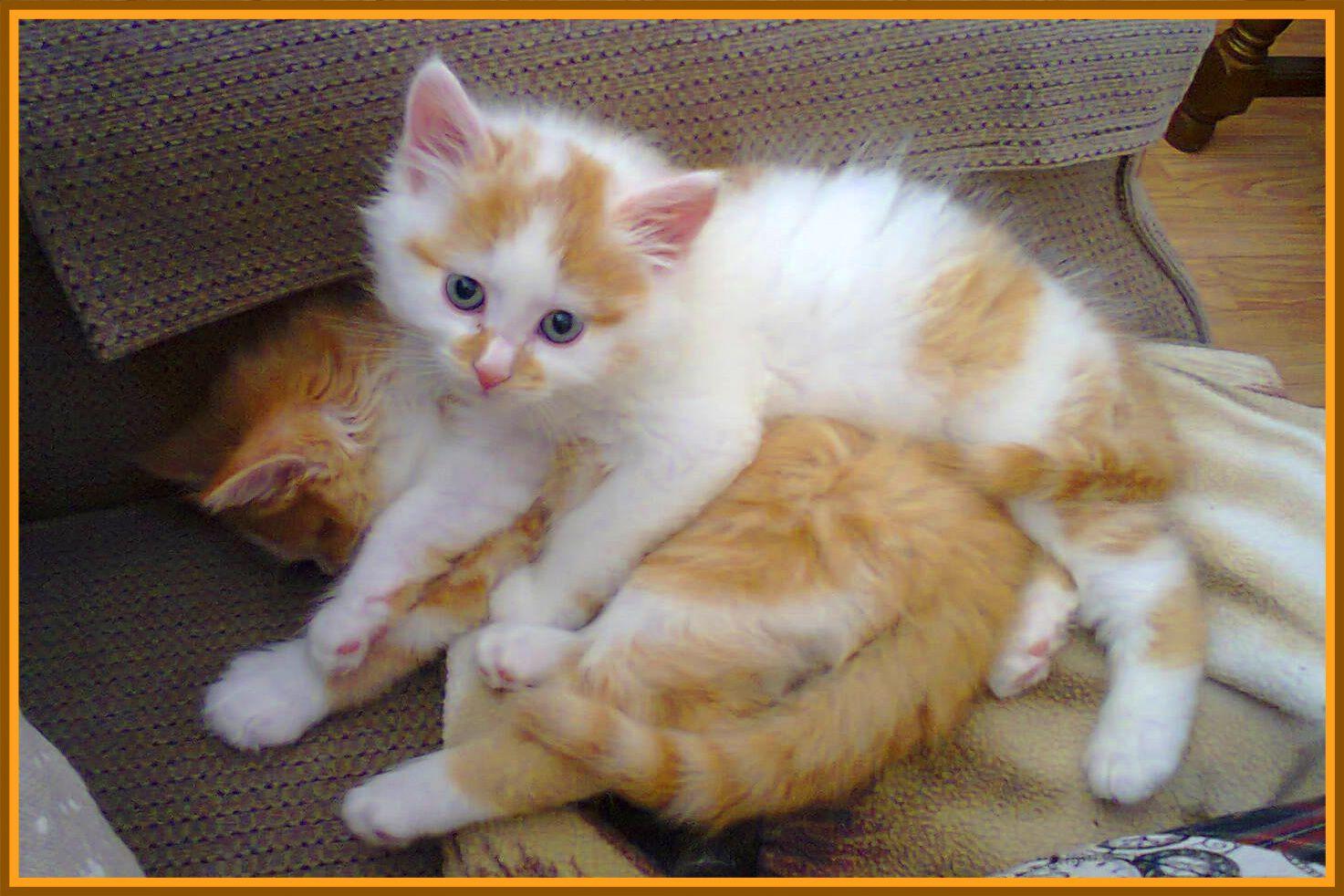 Peut être connaissez vous les chats de Laramicelle, elle en parle souvent sur son blog ICI les voici quand ils étaient chatons ; chez ma mère nous avons toujours eu beaucoup de chats; tous ceux qui étaient abandonnés finissaient chez nous, à croire qu'ils...