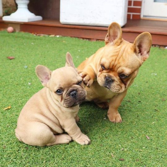 """Hey, look at me when I'm talking to you!"", funny French Bulldog Puppies"