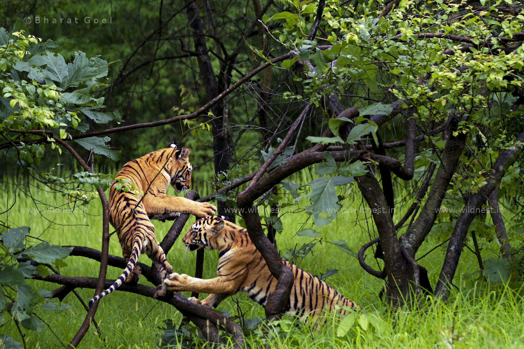 Tigers Wildlife of india, Wild cat species, Wildlife