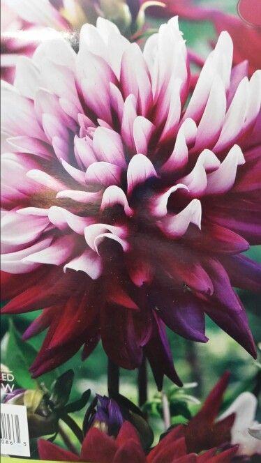 At Lowes Dahlia Flowers Peonies