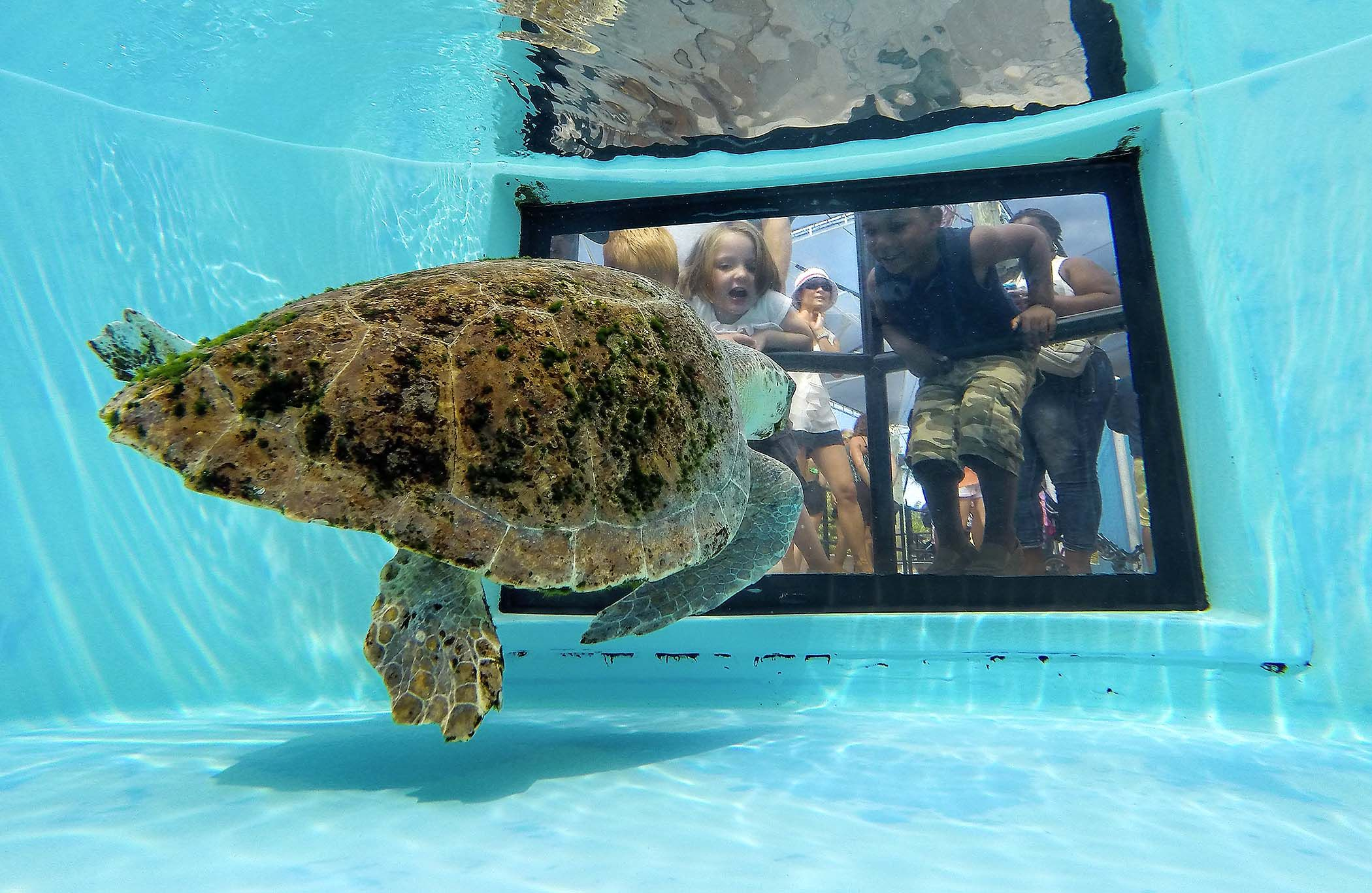 Juno Beach Fl Bianca A Loggerhead Sea Turtle Swims In Her Tank At Marinelife Center