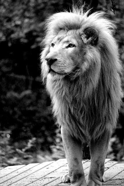 Majestoso leão