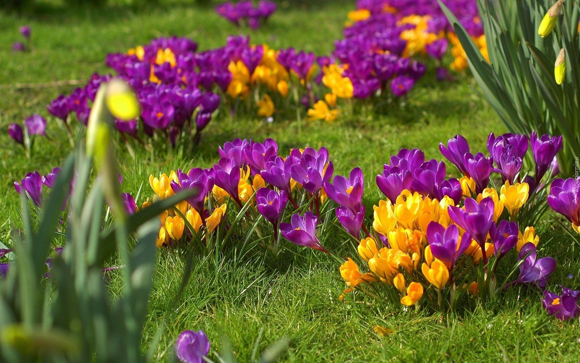 Edycja Tapety Wiosna Krokusy Laka Beautiful Flowers Spring Flowers Flowers