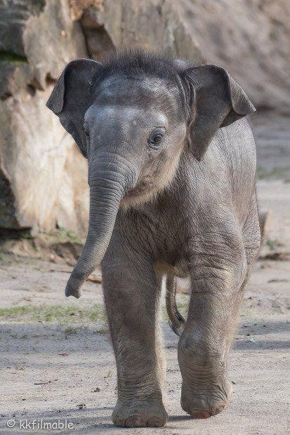 Kölner Zoo Elefanten Baby