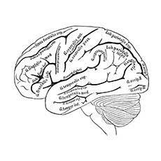 Human Brain Coloring Page Supercoloring Com Super Coloring