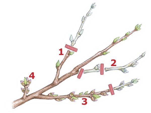 pfirsichbaum richtig schneiden gartentipps pinterest pfirsichbaum garten und baum. Black Bedroom Furniture Sets. Home Design Ideas