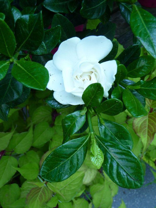 Gardenia augusta 39 crown jewel 39 gard nia rustique - Truffaut ivry sur seine ...