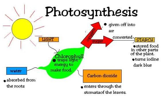 Photosynthesis in non green plants