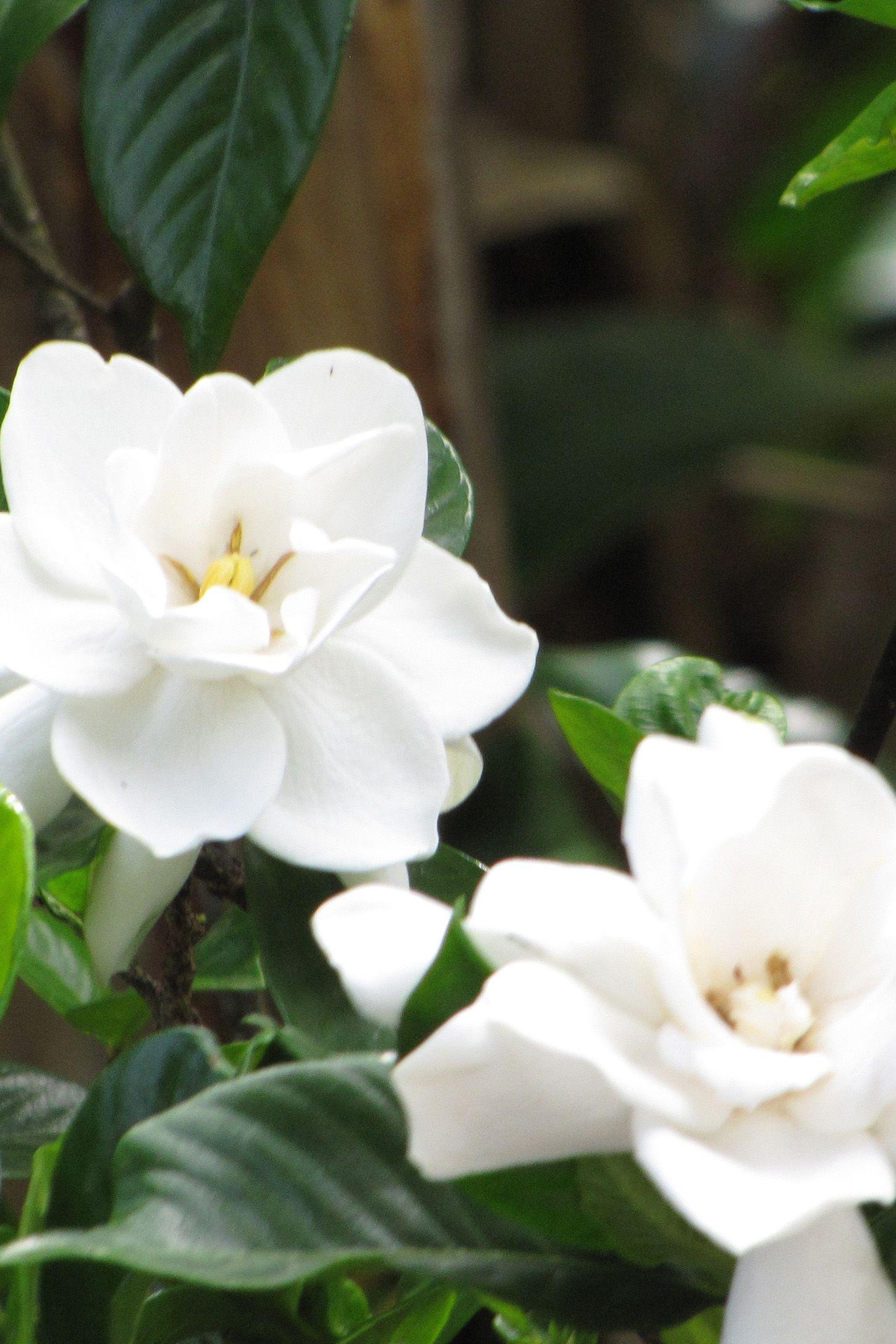 Gardenia Augusta (Perennial)countryliving