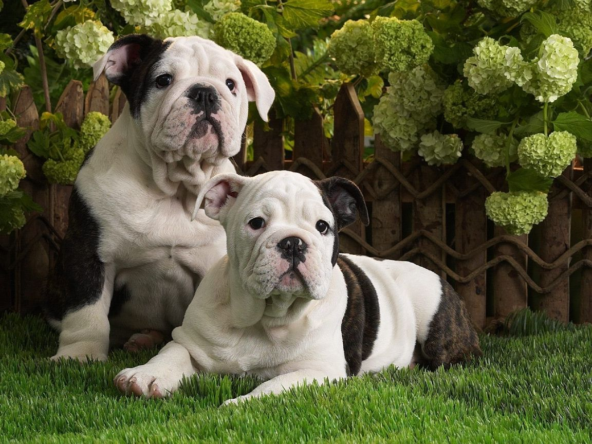 American Bulldog Puppies English Bulldog Puppies English
