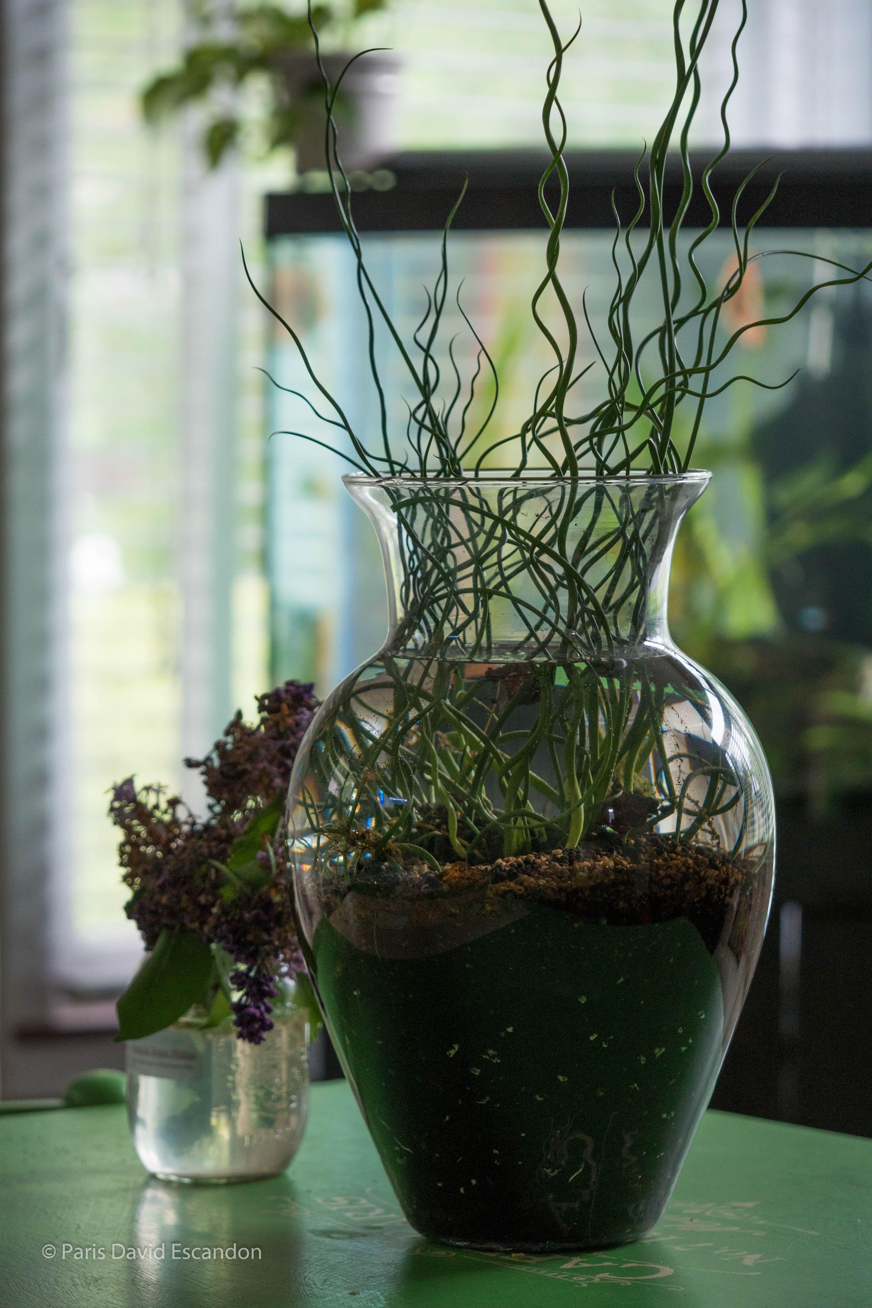 Corkscrew rush juncus effusus spiralis in water aquarium corkscrew rush juncus effusus spiralis in water reviewsmspy