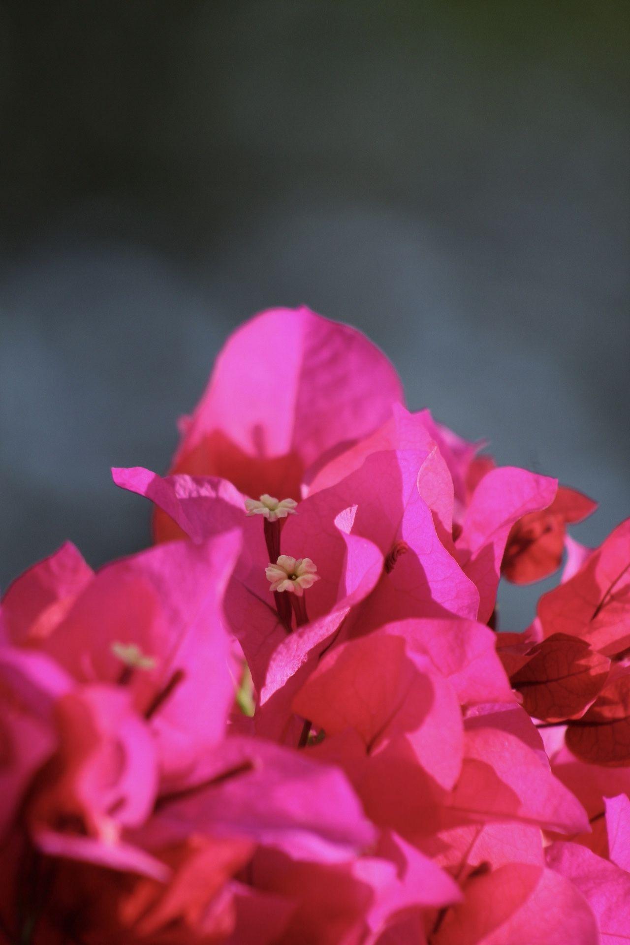 #flowerlovers #pinkish #bugambilias