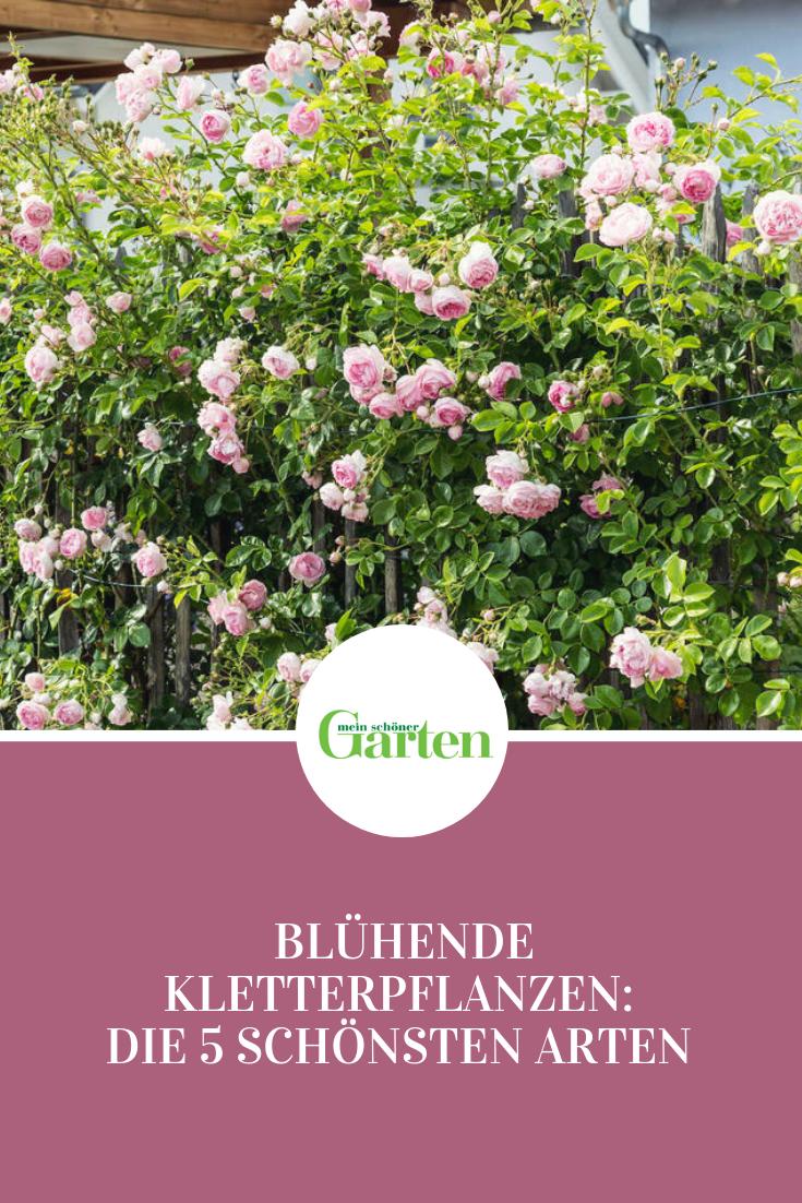 Blühende Kletterpflanzen: Die 5 schönsten Arten  #kletterpflanzenwinterhart