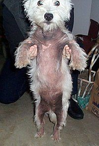 Westies Are Prone To Skin Problems And This Picture Is