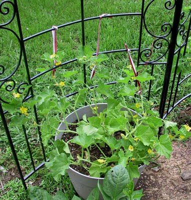 Good Garden Blog Growing Cantaloupe In A Container With Trellis