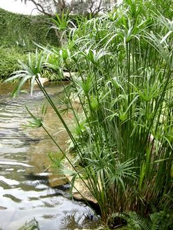 Recommended for places that need height papyrus a great for Water plants for koi pond